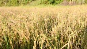 Arroz, arroz 'paddy' Fotos de Stock Royalty Free