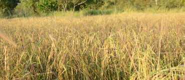 Arroz, arroz 'paddy' Fotos de Stock