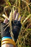 Arroz, arroz 'paddy' Imagem de Stock