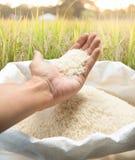 Arroz blanco a disposición en el campo del arroz - imagen común imagenes de archivo
