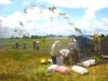 Arroz. colheita Imagens de Stock