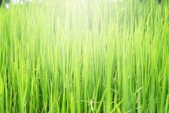 Arroz, a colheita e campo de milho. Fotos de Stock Royalty Free