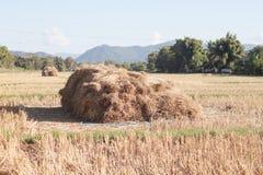 Arroz colhido no campo do arroz em Tailândia Imagem de Stock