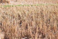 Arroz cosechado en campo del arroz en Tailandia Imágenes de archivo libres de regalías