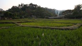 Arroz creciente en Asia Campo fresco del arroz de la terraza metrajes
