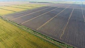 Arroz creciente en campos inundados Arroz maduro en el campo, el principio de la cosecha una opinión del s-ojo del ` del pájaro almacen de metraje de vídeo
