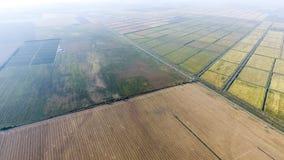 Arroz crescente em campos inundados Arroz maduro no campo, o começo da colheita Uma vista aérea Fotos de Stock