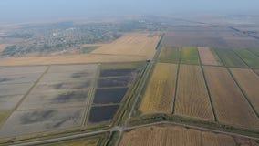 Arroz crescente em campos inundados Arroz maduro no campo, o começo da colheita Uma vista aérea Imagens de Stock Royalty Free