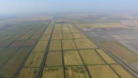 Arroz crescente em campos inundados Arroz maduro no campo, o começo da colheita Uma vista aérea Fotografia de Stock Royalty Free