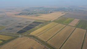 Arroz crescente em campos inundados Arroz maduro no campo, o começo da colheita Uma vista aérea Imagem de Stock Royalty Free