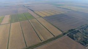Arroz crescente em campos inundados Arroz maduro no campo, o começo da colheita Uma vista aérea Fotografia de Stock