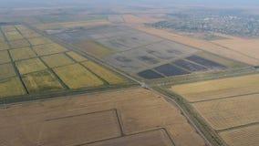 Arroz crescente em campos inundados Arroz maduro no campo, o começo da colheita Uma vista aérea Imagens de Stock