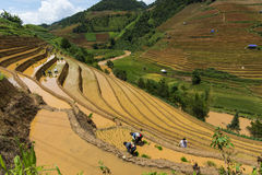 Arroz crescente em MU Cang Chai, Yen Bai, Vietname Imagem de Stock Royalty Free
