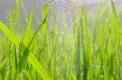 Arroz da aranha Imagem de Stock Royalty Free