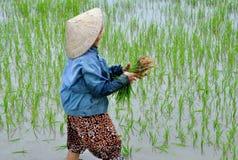 Arroz da colheita Imagens de Stock