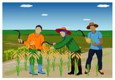 arroz da colheita do fazendeiro ilustração do vetor