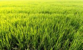 Arroz da exploração agrícola Foto de Stock