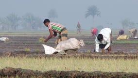 Arroz da planta dos povos no campo do arroz em Jessore, Bangladesh video estoque