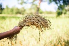 Arroz da posse da mão das mulheres no campo do arroz, mão das mulheres do foco Fotos de Stock Royalty Free