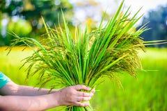 Arroz da posse da mão das mulheres no campo do arroz, mão das mulheres do foco Imagem de Stock Royalty Free