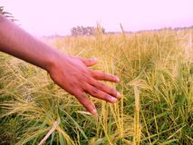 Arroz das explorações agrícolas fotos de stock