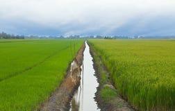 Arroz de arroz Imagen de archivo libre de regalías