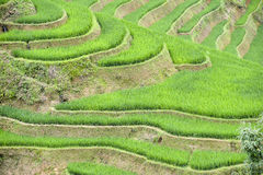 Arroz de arroz de Vietnam Fotografía de archivo