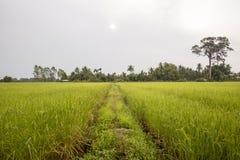 Arroz de arroz del jazmín con los árboles en fondo Fotos de archivo