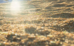 Arroz de arroz hermoso en puesta del sol Imagen de archivo