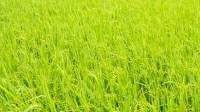 Arroz de arroz, planta de arroz en campo y descensos del agua de lluvia imágenes de archivo libres de regalías