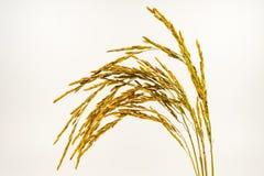 Arroz de arroz en el fondo blanco Semillas del arroz en el splat imagen de archivo libre de regalías