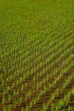 Arroz de arroz en tierras de labrantío verdes Fotografía de archivo