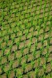 Arroz de arroz en tierras de labrantío verdes Imagenes de archivo