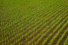 Arroz de arroz en tierras de labrantío verdes Fotografía de archivo libre de regalías