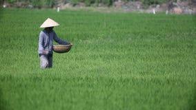 Arroz de la cosecha de los granjeros de Vietnam almacen de video