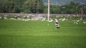 Arroz de la cosecha de los granjeros de Vietnam almacen de metraje de vídeo