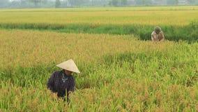 Arroz de la cosecha de los granjeros en un campo metrajes