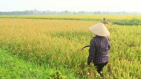 Arroz de la cosecha de los granjeros en un campo almacen de video