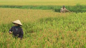 Arroz de la cosecha de los granjeros en un campo almacen de metraje de vídeo