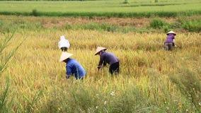 Arroz de la cosecha de los granjeros en el campo almacen de video