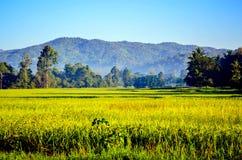 arroz de la granja Imagen de archivo