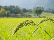 Arroz de la selva o arroz en el campo verde, fondo de los pájaros de la naturaleza Imagenes de archivo