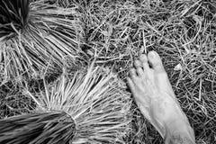 Arroz de los almácigos Foto de archivo libre de regalías