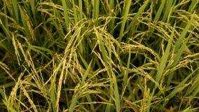 Arroz de arroz de oro en el campo de arroz Foto de archivo libre de regalías