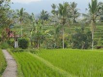 Arroz de arroz, pequeña trayectoria, palmeras, árboles tropicales y ofrendas a la diosa Sri fotografía de archivo libre de regalías