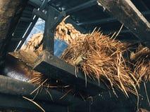 Arroz de sequía Fotografía de archivo libre de regalías