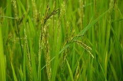 arroz del jazmín Fotografía de archivo