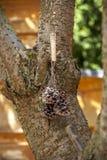 Arroz do alimento de pássaro em um milho do pinho Foto de Stock Royalty Free