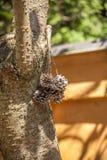 Arroz do alimento de pássaro em um milho do pinho Imagens de Stock