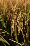 arroz do jasmim Imagem de Stock